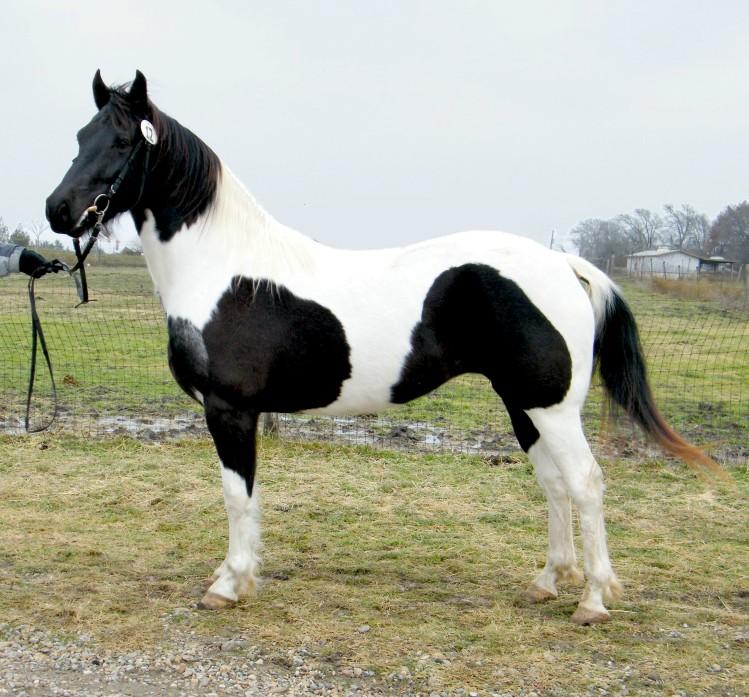 Pinto Friesian Horse Friesian Heritage Horse